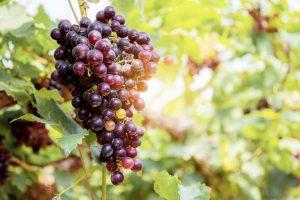 Istriens Weinherstellung